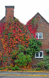 Cottage covered in virginia creeper. Photo of a cottage covered in beautiful virginia creeper plant showing off its wonderful autumnal colours Stock Images
