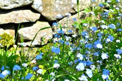 Cottage garden detail. Pretty an English cottage garden detail with forget me not flowers in sunlight Royalty Free Stock Photo