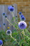Cottage garden echinops Royalty Free Stock Image