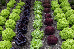 Cottage Garden Lettuce patch Stock Image