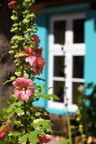 Cottage Garden Scene. Hollyhock plant in a garden in front of an antique transom window Stock Image