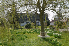 Cottage Garden in Spring. A UK cottage garden in spring with daffodils and weatherboard thatched cottage in the background royalty free stock photos