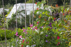 Cottage Garden Sweet Peas & Runner Beans Stock Images