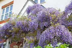 Cottage garden wisteria Stock Images