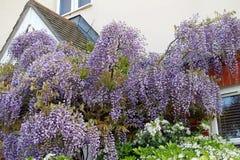 Cottage garden wisteria Stock Photo