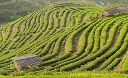 Cottage and green tea terrace beautiful. Stock Image