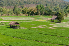 Cottage and green terraced rice field Royalty Free Stock Images