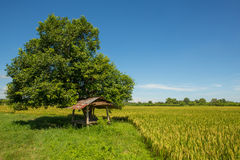 A cottage by the paddy rice field Royalty Free Stock Photos
