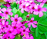 Cottage Pink Wood Sorrel Oxalis. Close-up of many beautiful cottage pink wood sorrel oxalis in a garden royalty free stock photography
