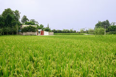 Cottage in rice fields of verdant summer on sunny day Royalty Free Stock Photos