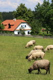 Cottage and sheep Stock Photo