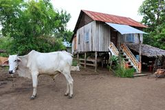 Cottage and Some Cows of a Family Living in Cambodia`s Countryside Stock Images
