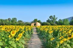 Cottage in sunflower field Royalty Free Stock Image