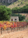 Cottage in a Vineyard. Rural scene showing a vineyard in fall Stock Image