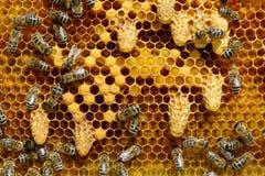 Cottages cireux pour l'élevage du chapitre de la famille d'abeille La naissance d'une nouvelle reine des abeilles Image libre de droits