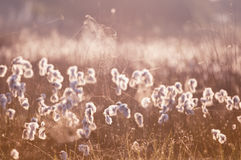 Cottograss and spiderweb in morning light Royalty Free Stock Images