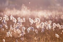 Cottograss和spiderweb在早晨光 免版税库存图片