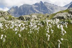 Cottom-Grasblume Eriophorum angustifolium in den italienischen Alpen Adamello Stockfotografie