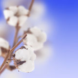 Cotton. Beautiful Cotton Buds. Selective Focus royalty free stock images