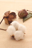 Cotton. Raw cotton, bud, and leaf royalty free stock photo