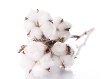 Free Cotton Royalty Free Stock Images - 13031399