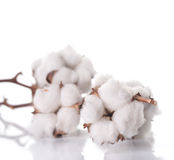 Cotton. Beautiful Cotton Plant isolated on white Stock Images