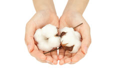 Cotton. Hand of woman who has raw cotton stock photos