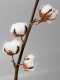 Cotton. Branch of flowers cotton on gray background Stock Images