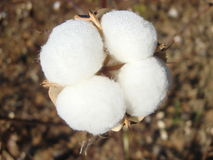 Cotton. Sony N2,cotton with some Dewdrop.it's quite beautiful Royalty Free Stock Images