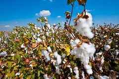 Cotton Royalty Free Stock Photo
