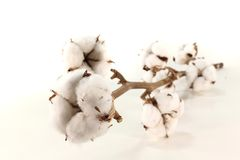 Cotton. A sprig of Cotton with blossoms on a white background Royalty Free Stock Image