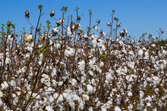 Cotton royalty free stock images