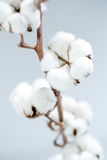 Cotton. This is an image of pure clean cotton plant Royalty Free Stock Image