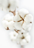 Cotton. This is an image of pure clean cotton plant Stock Photos
