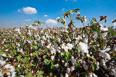 Cotton. Ripe Cotton Bolls on Branch Ready for Harvests Royalty Free Stock Photos