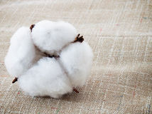 Cotton. Soft white plant on the  fabric Royalty Free Stock Images