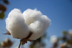 Cotton. Fruits of Cotton Royalty Free Stock Images