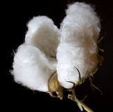 Cotton. Ripe bowl of cotton photographed on black stock photography