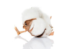 Cotton. Branch of cotton plant close-up Stock Photos