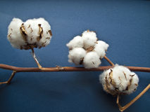 Cotton. Ripe cotton balls on branch, blue background Royalty Free Stock Images
