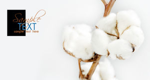 Cotton background Royalty Free Stock Photography