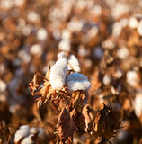 Cotton ball. On the plant ready to harvest Stock Photos
