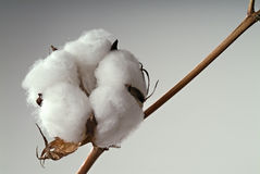 Cotton ball. Close-up of Ripe cotton ball on branch isolated Stock Photo