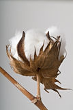 Cotton ball. Close-up of Ripe cotton ball on branch isolated Stock Images