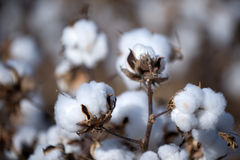 Cotton Ball Stock Image