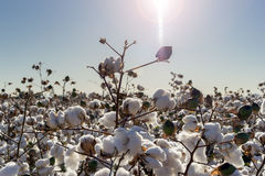 Cotton ball full bloom - agriculture farm crop image Stock Photography