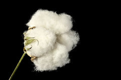 Cotton ball Stock Image