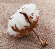 Cotton ball on sack Stock Image