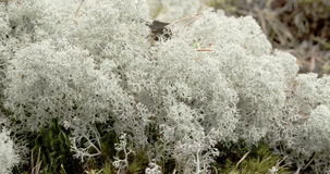 The cotton balls like cup lichen sprouting in the forest FS700 Odyssey 7Q 4K Royalty Free Stock Photography