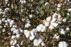 Cotton balls on plants Stock Images